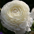 White Buttercup - Ranunculus by Christiane Schulze Art And Photography