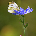 White Butterfly And Blue Flower by Rima Biswas