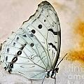 White Butterfly by Edna Weber