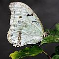White Butterfly by Jeremy Hayden