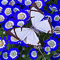 White Butterfly On Blue Cineraria by Garry Gay