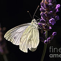 White Butterfly On Lavender Against A Black Background by LHJB Photography