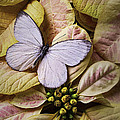 White Butterfly On Poinsettia by Garry Gay