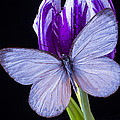 White Butterfly On Purple Tulip by Garry Gay