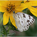 White Butterfly by Valerie Loop