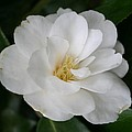 Snow White Camellia by Christiane Schulze Art And Photography