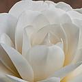 White Camellia by Randy Walton