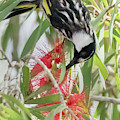 White-cheeked Honeyeater Feeding by Hal Beral