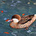 White-cheeked Pintail by Deborah Benoit