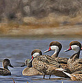 White-cheeked Pintails by Jean-Luc Baron