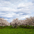 White Cherry Blossom Field In Maryland by Susan Schmitz