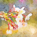 White Cherry Blossoms Digital Watercolor Painting 1 by Beverly Claire Kaiya