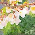 White Cherry Blossoms Digital Watercolor Painting 2 by Beverly Claire Kaiya