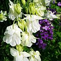 White Columbine With Purple Phlox by Renee Croushore