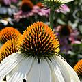 White Cone Flower by Kathy DesJardins