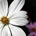 White Coreopsis by Susan McMenamin