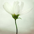 White Cosmos by Lotte Gr?nkj?r