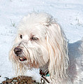 White Coton De Tulear Dog In Snow by Valerie Garner