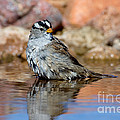 White-crowned Sparrow Bathing by Anthony Mercieca