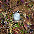 White Crowned Sparrow by Deena Stoddard
