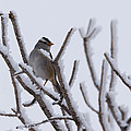 White Crowned Sparrow by Ernie Echols