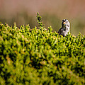 White-crowned Sparrow In A Bush by  Onyonet  Photo Studios