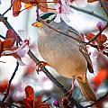 White-crowned Sparrow by Jim Thompson