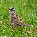 White Crowned Sparrow by Jeff Goulden
