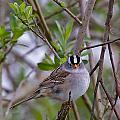 White Crowned Sparrow by Patrick Forster