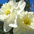White Daffodils Flowers Art Prints Spring by Baslee Troutman