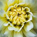 White Dahlia by Inge Johnsson