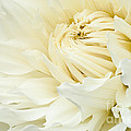 White Dahlia by Joe Mamer