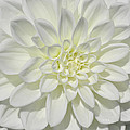 White Dahlia Square by Tikvah's Hope