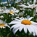 White Daisies by Christine Stack