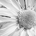 White Daisy by Adam Romanowicz