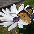 White Daisy And Butterfly by Taiche Acrylic Art