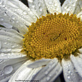 White Daisy by Catherine Melvin