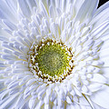 White Daisy Close Up by Garry Gay