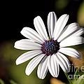 White Daisy by Kenny Glotfelty
