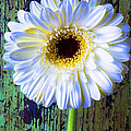 White Daisy With Green Wall by Garry Gay