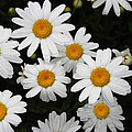White Daisy's On The Rim by Tom Janca
