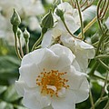 White Dog Rose And Buds by Christiane Schulze Art And Photography