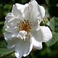 White Dog Rose by Christiane Schulze Art And Photography