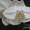 White Dream Orchid by Dawn Gari