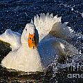 White Duck 1 by Susie Peek