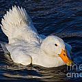 White Duck 2 by Susie Peek