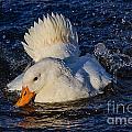 White Duck 3 by Susie Peek