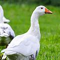 White Duck  by Sotiris Filippou