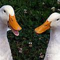 White Ducks Quacking by Christine Stack
