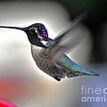 White Eared Male Costa's Hummingbird by Jay Milo
